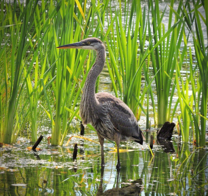 Great Blue Heron ©Jackie Brooks