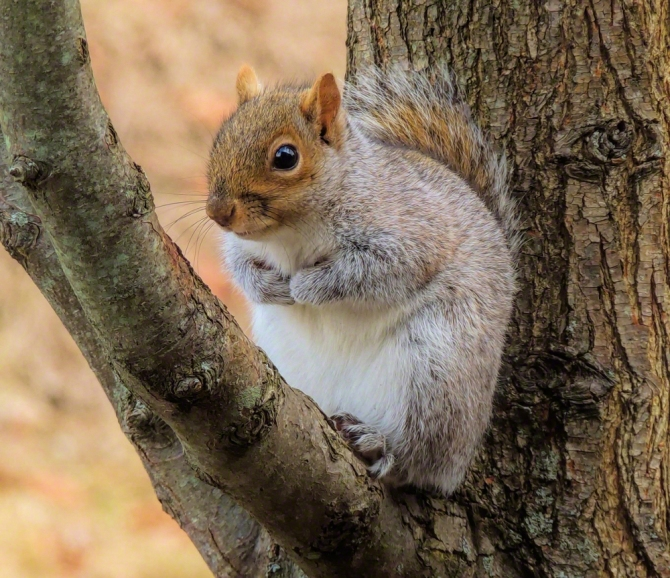 Eastern Gray Tree Squirrel ©Jackie Brooks