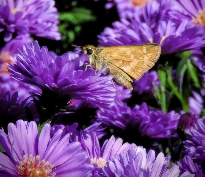 Skipper Butterfly ©Jackie Brooks