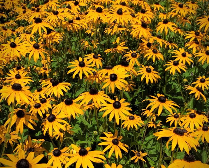 Black-eyed Susans ©Jackie Brooks